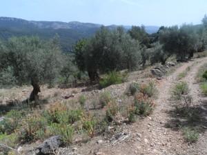 L'oliverar ocupa una extensió important de la finca Son Mas.