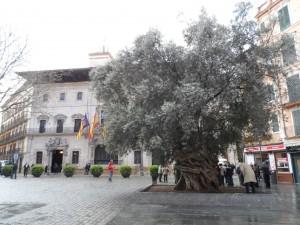 L'olivera de Cort, un arbre mil·lenari en el Km 0 de Palma, símbol d'un poble de pau, amb molta història i fermament arrelat a la terra.
