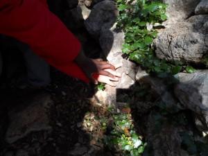 Les mans escruten les marques de les urpes dels ermassets esporlerins.